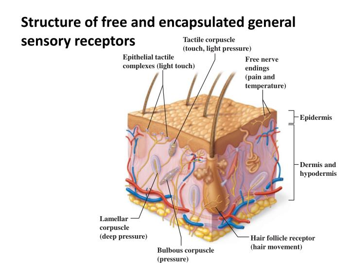 Structure of free and encapsulated general sensory receptors