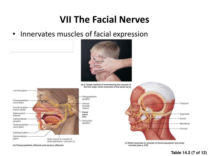 VII The Facial Nerves