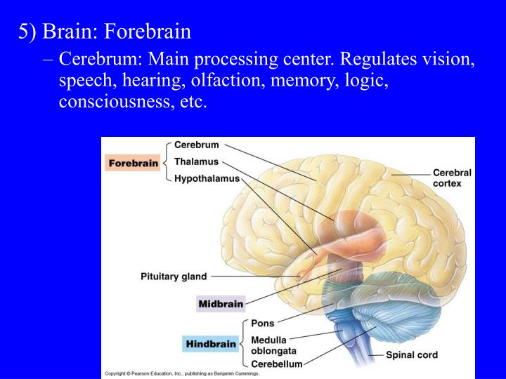 5) Brain: Forebrain