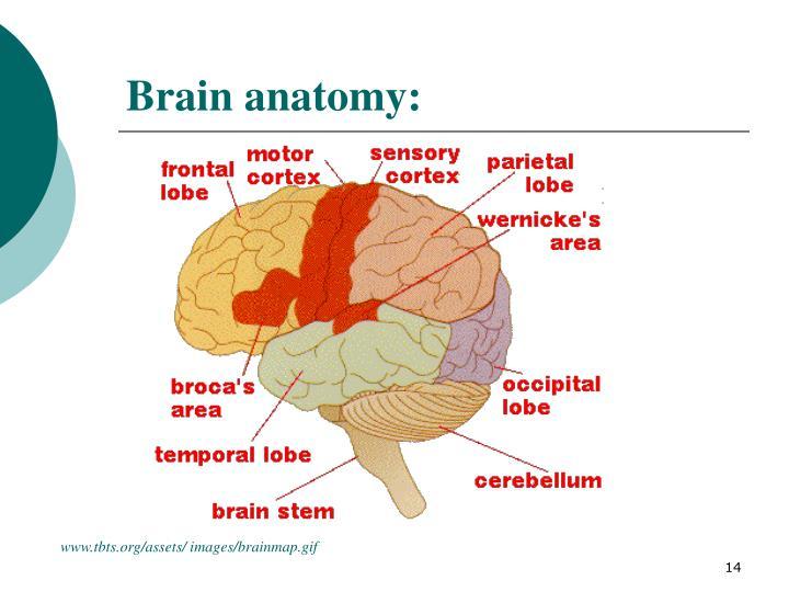 Brain anatomy: