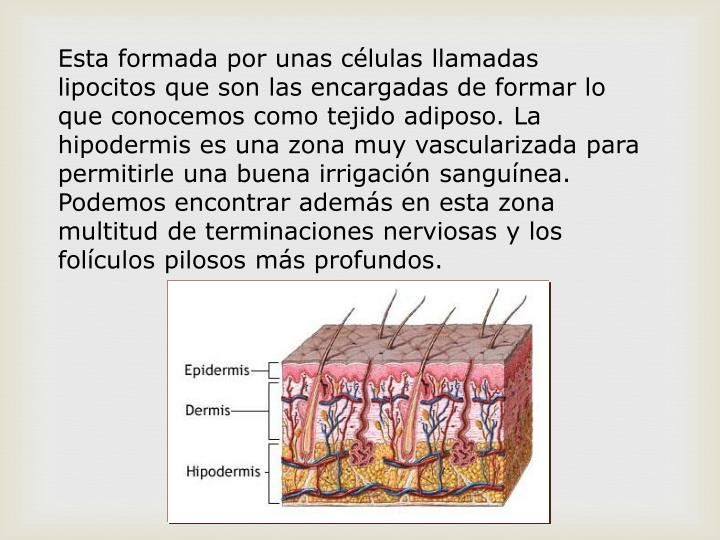 Esta formada por unas células llamadas lipocitos que son las encargadas de formar lo que conocemos como tejido adiposo. La hipodermis es una zona muy vascularizada para permitirle una buena irrigación sanguínea. Podemos encontrar además en esta zona multitud de terminaciones nerviosas y los folículos pilosos más profundos.