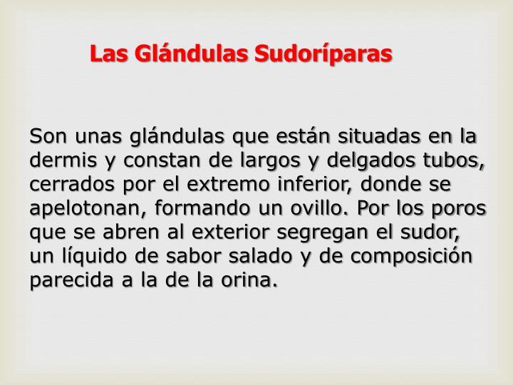 Las Glándulas Sudoríparas