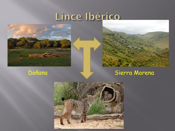 Lince Ibérico