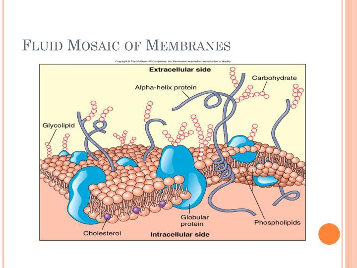 Fluid Mosaic of Membranes