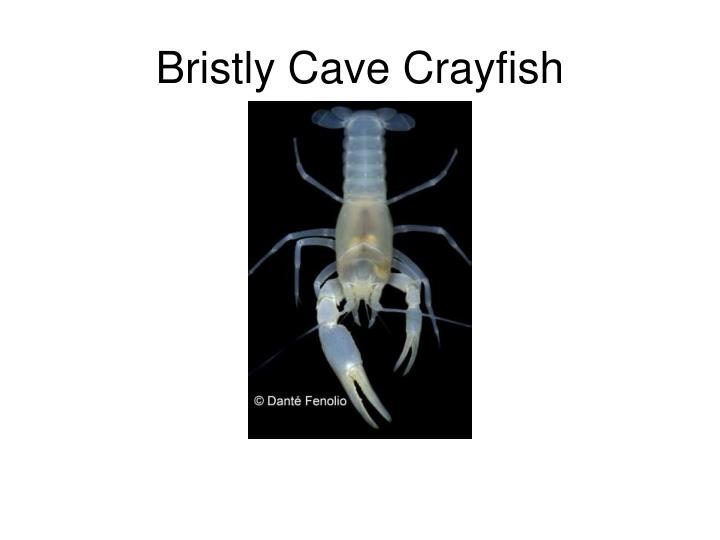 Bristly Cave Crayfish