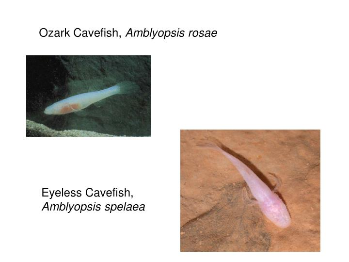 Ozark Cavefish,
