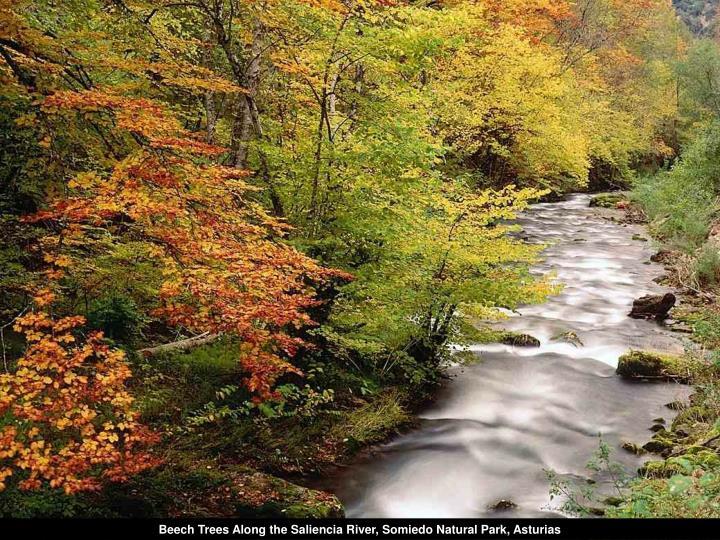 Beech Trees Along the Saliencia River, Somiedo Natural Park, Asturias