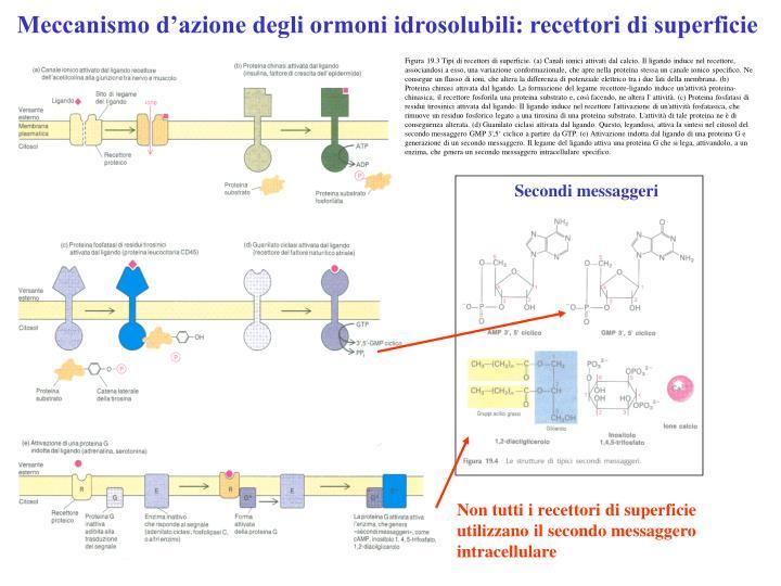 Meccanismo d'azione degli ormoni idrosolubili: recettori di superficie