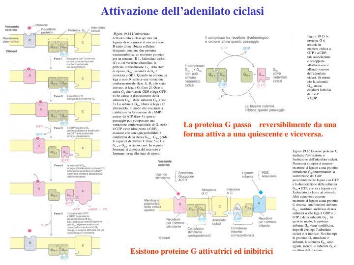 Attivazione dell'adenilato ciclasi