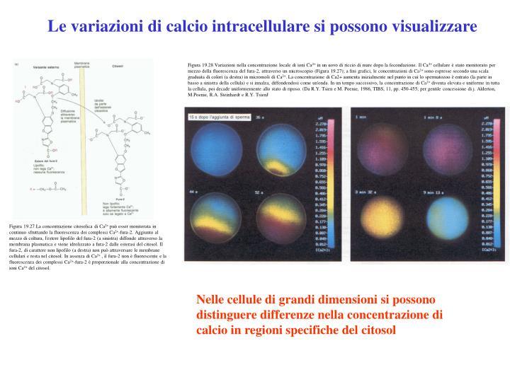 Le variazioni di calcio intracellulare si possono visualizzare
