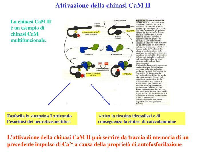 Attivazione della chinasi CaM II