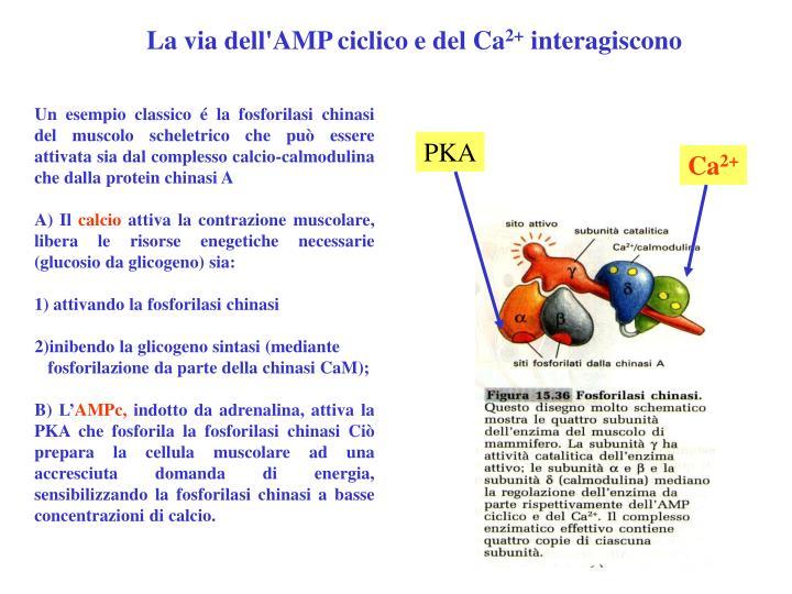 La via dell'AMP ciclico e del Ca