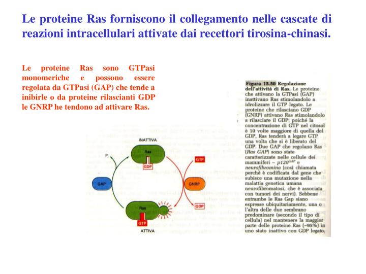 Le proteine Ras forniscono il collegamento nelle cascate di reazioni intracellulari attivate dai recettori tirosina-chinasi.
