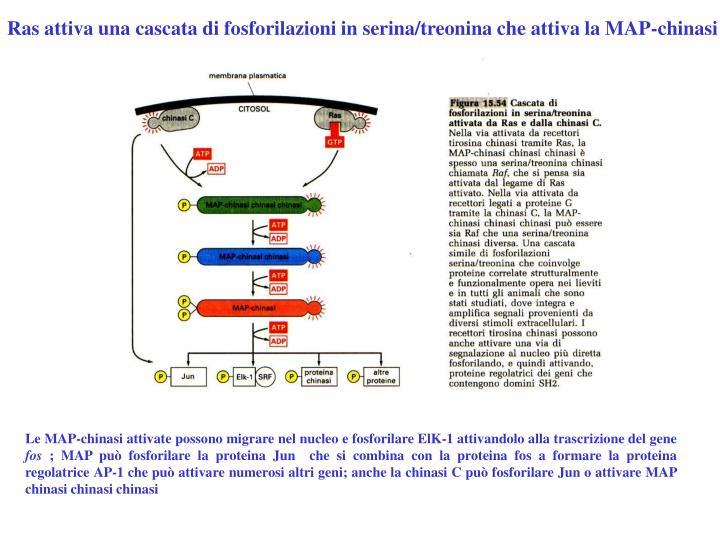 Ras attiva una cascata di fosforilazioni in serina/treonina che attiva la MAP-chinasi