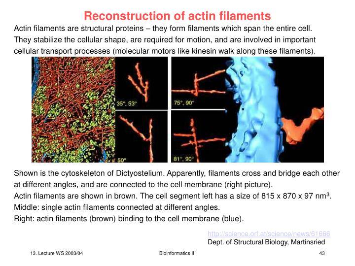 Reconstruction of actin filaments