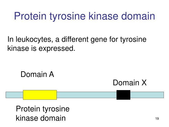 Protein tyrosine kinase domain
