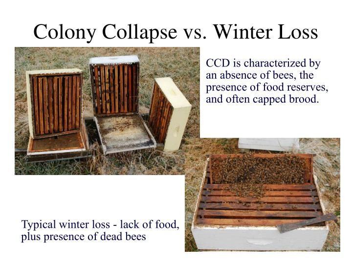 Colony Collapse vs. Winter Loss