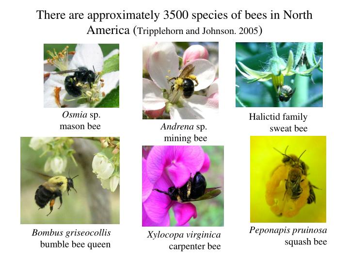 There are approximately 3500 species of bees in north america tripplehorn and johnson 2005