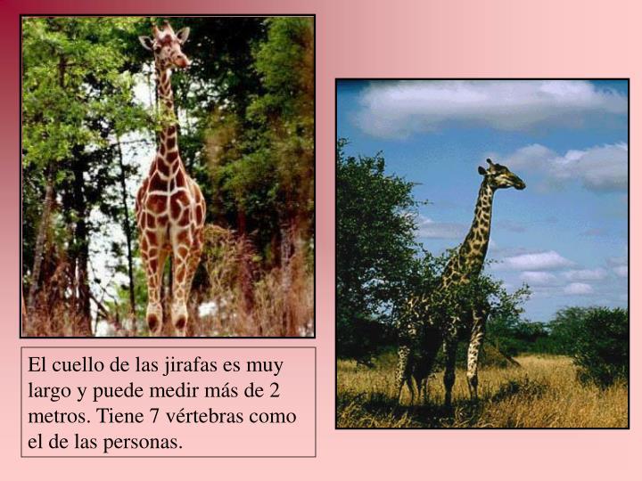 El cuello de las jirafas es muy largo y puede medir más de 2 metros. Tiene 7 vértebras como el de las personas.