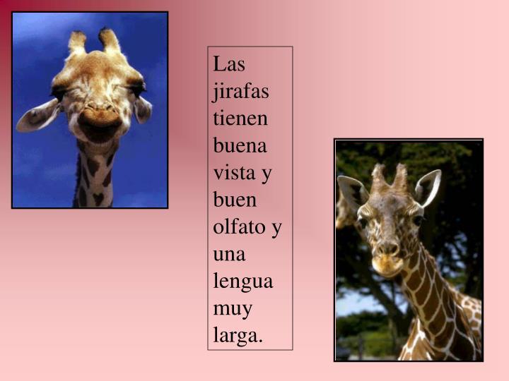 Las jirafas tienen buena vista y buen olfato y una lengua muy larga.