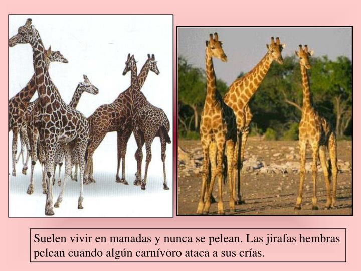 Suelen vivir en manadas y nunca se pelean. Las jirafas hembras  pelean cuando algún carnívoro ataca a sus crías.
