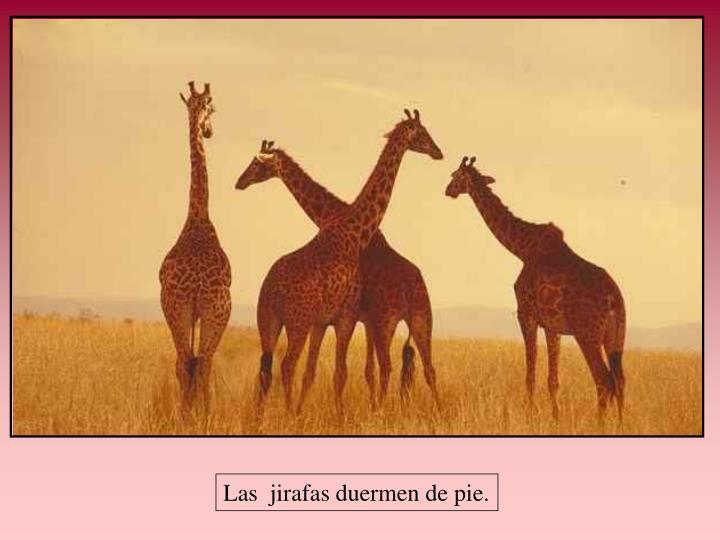 Las  jirafas duermen de pie.