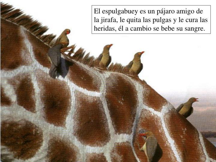 El espulgabuey es un pájaro amigo de la jirafa, le quita las pulgas y le cura las heridas, él a cambio se bebe su sangre.