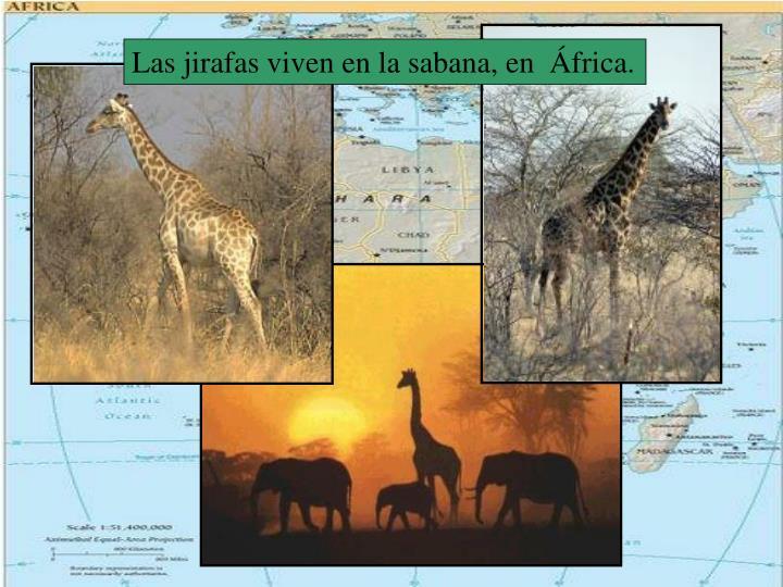 Las jirafas viven en la sabana, en  África.
