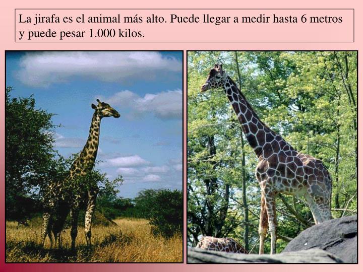 La jirafa es el animal más alto. Puede llegar a medir hasta 6 metros y puede pesar 1.000 kilos.