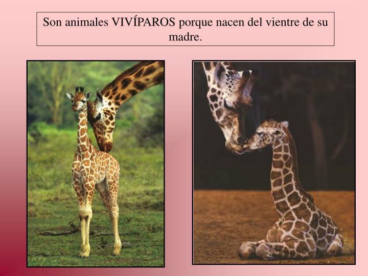 Son animales VIVÍPAROS porque nacen del vientre de su madre.