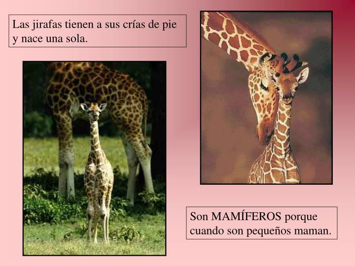 Las jirafas tienen a sus crías de pie y nace una sola.