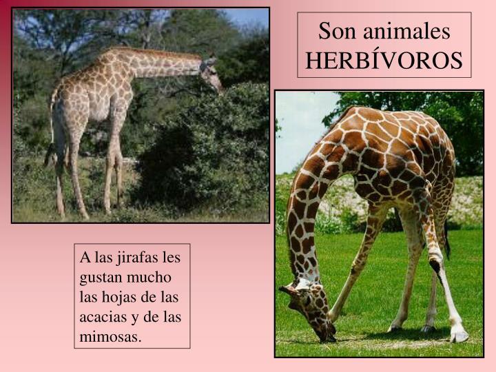 Son animales HERBÍVOROS