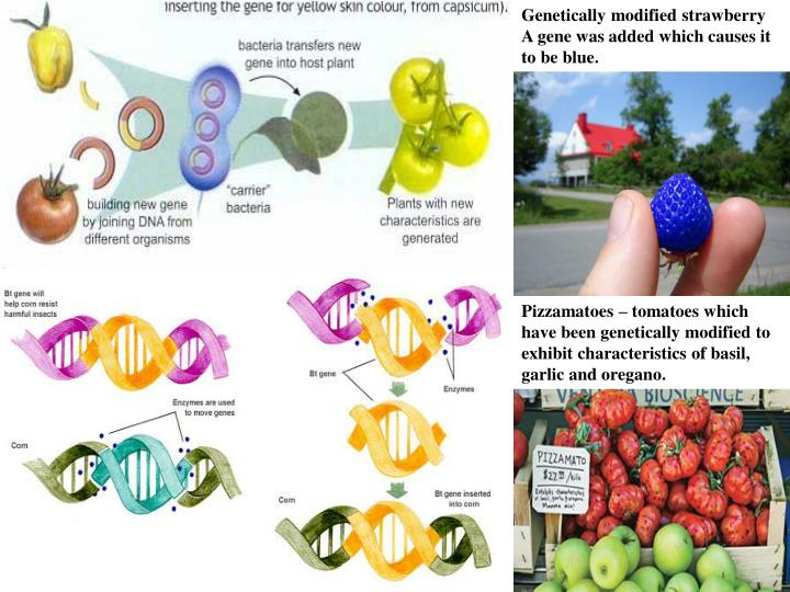 Genetically modified strawberry