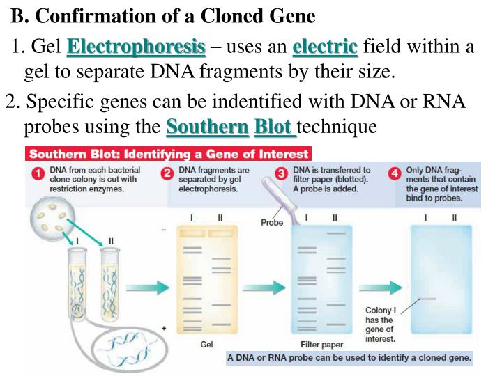 B. Confirmation of a Cloned Gene