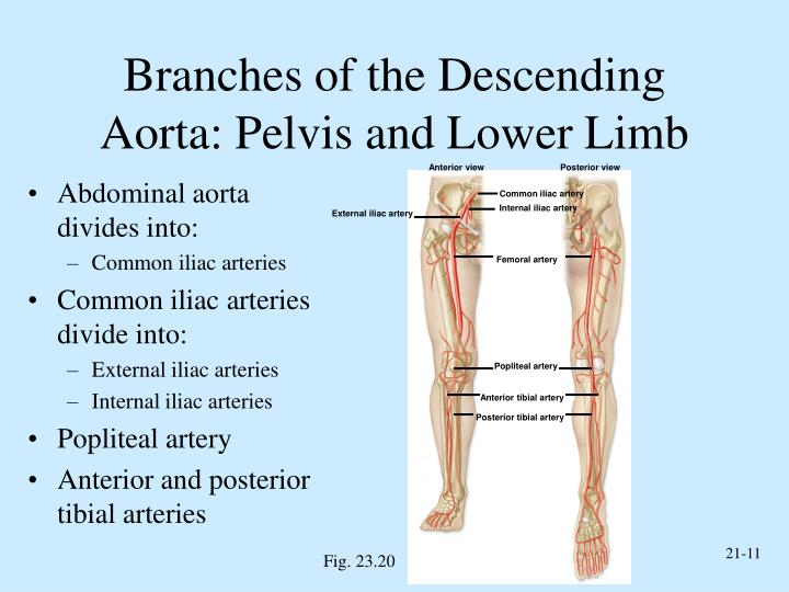 Branches of the Descending Aorta: Pelvis and Lower Limb