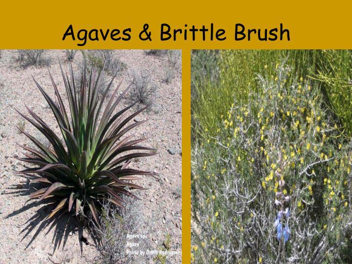 Agaves & Brittle Brush