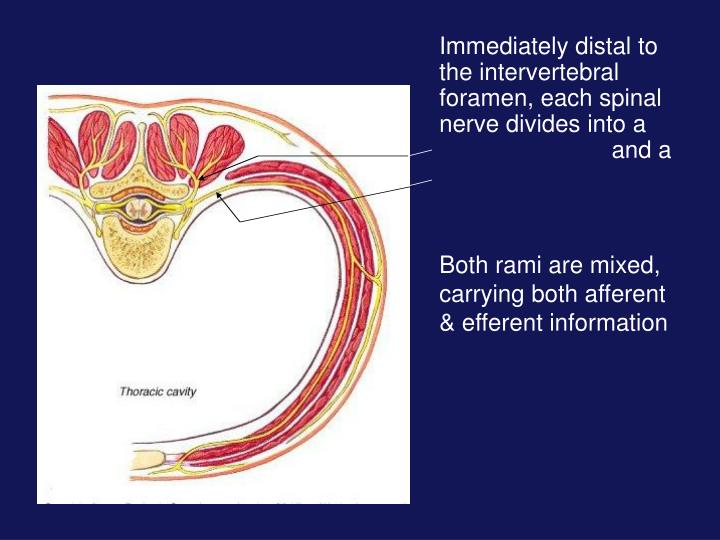 Immediately distal to the intervertebral foramen, each spinal nerve divides into a