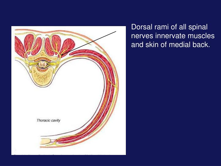 Dorsal rami of all spinal nerves innervate muscles and skin of medial back.