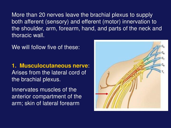 More than 20 nerves leave the brachial plexus to supply both afferent (sensory) and efferent (motor) innervation to the shoulder, arm, forearm, hand, and parts of the neck and thoracic wall.