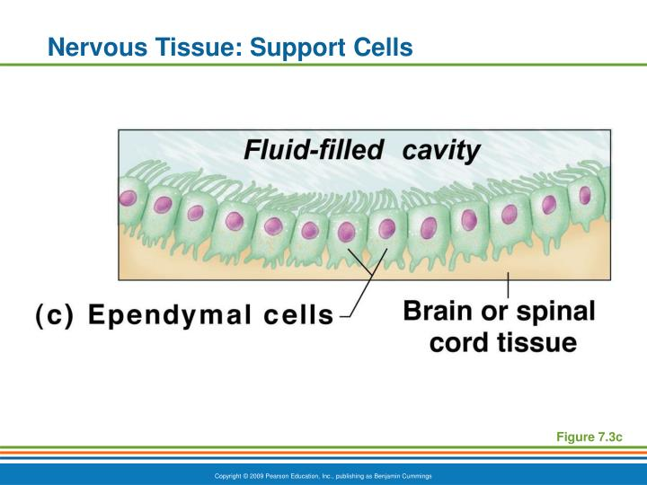 Nervous Tissue: Support Cells