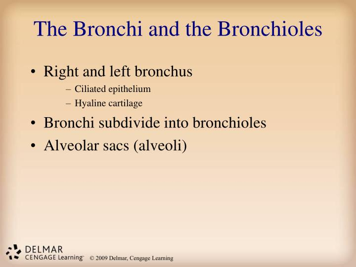 The Bronchi and the Bronchioles