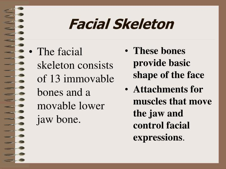The facial skeleton consists of 13 immovable bones and a movable lower jaw bone.