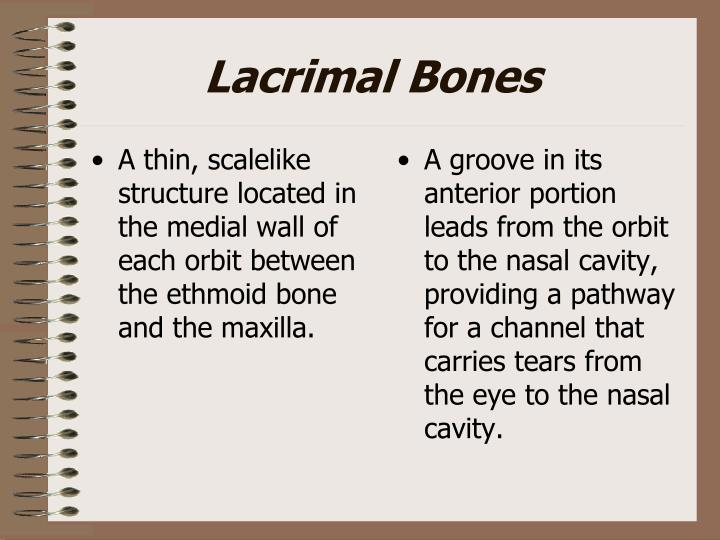 A thin, scalelike  structure located in the medial wall of each orbit between the ethmoid bone and the maxilla.