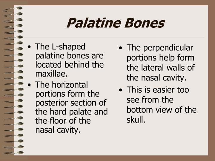 The L-shaped palatine bones are located behind the maxillae.