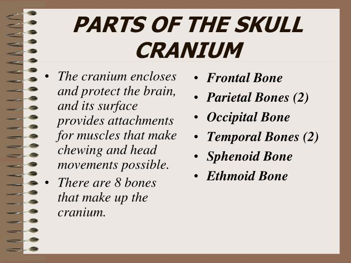 The cranium encloses and protect the brain, and its surface provides attachments for muscles that make chewing and head movements possible.