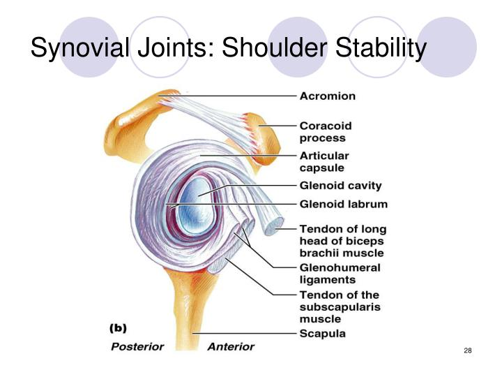 Synovial Joints: Shoulder Stability