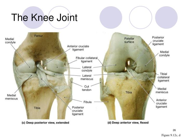 The Knee Joint