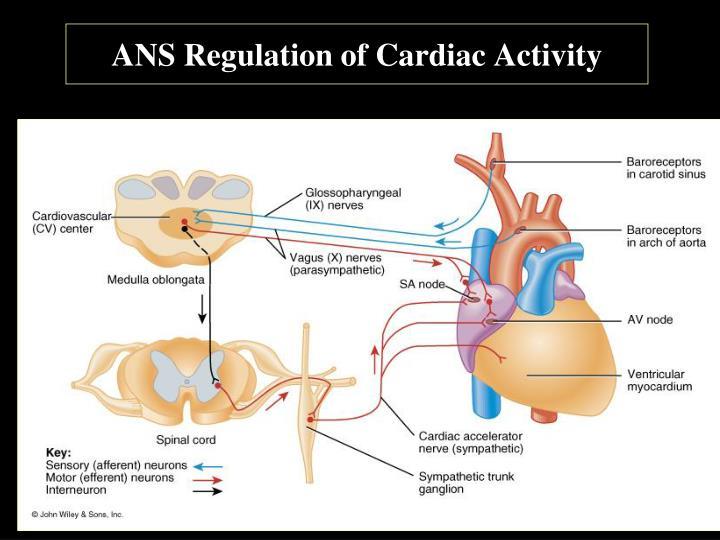 ANS Regulation of Cardiac Activity
