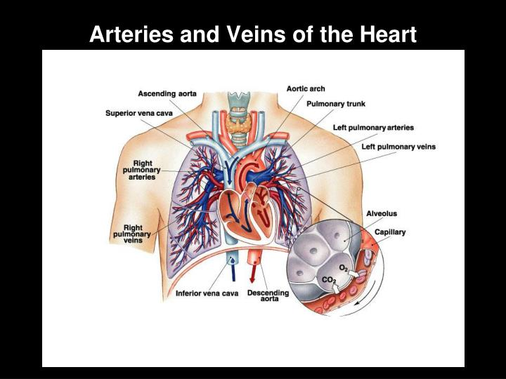 Arteries and Veins of the Heart