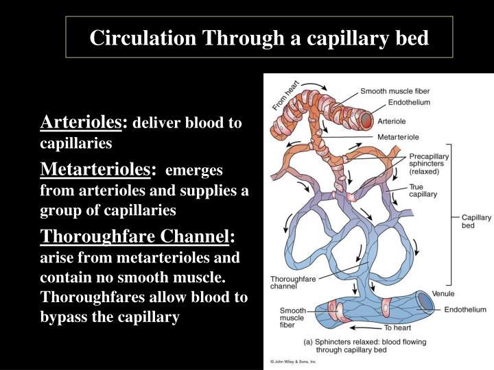 Circulation Through a capillary bed